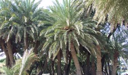 The palm groves at Vai